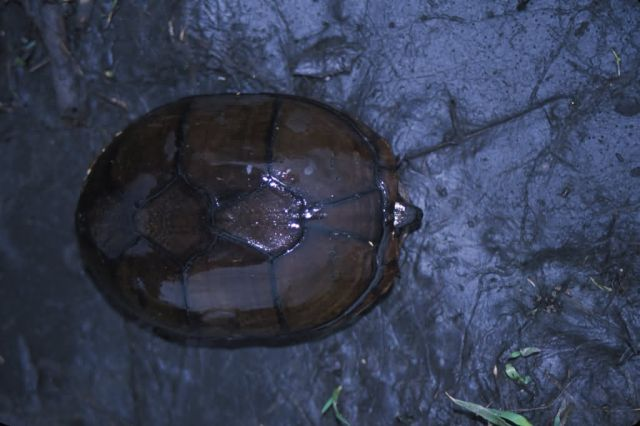 Eastern Mud Turtle (Kinosternon subrubrum) Picture