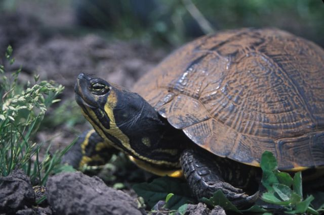 Yellow-bellied Slider (Trachemys scripta scripta) Picture