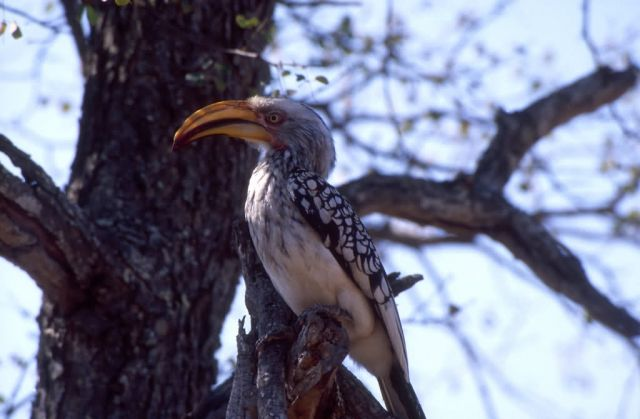 Yellow-billed Hornbill (Tockus leucomelas) Picture