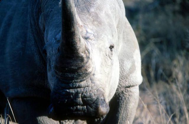 White Rhinoceros (Ceratotherium simum) Picture