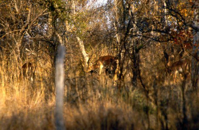 Impala (Aepyceros melampus) Picture