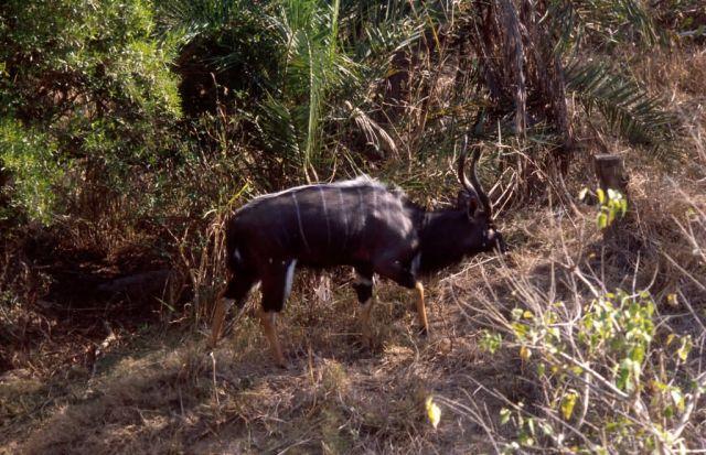 Nyala (Tragelaphus angasii) Picture