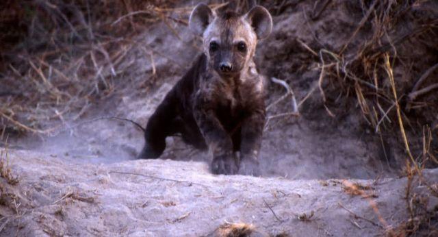 Spotted Hyena (Crocuta crocuta) Picture