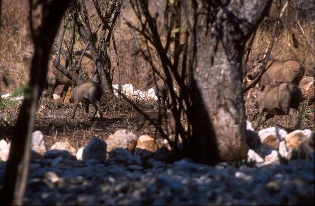 Desert Warthog (Phacochoerus aethiopicus) Picture