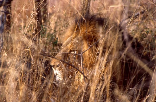 Lion (Panthera leo) Picture