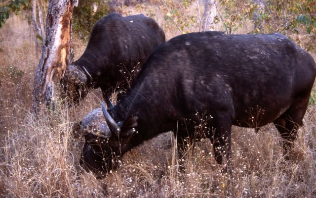African Buffalo (Syncerus caffer) Picture