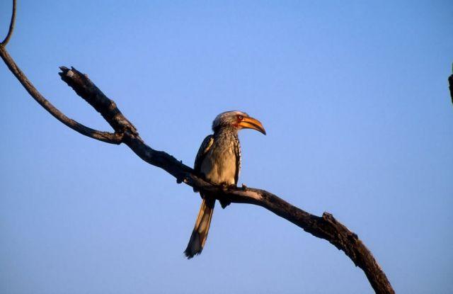Yellow-billed Hornbill (Tockus leucomelas) Picture