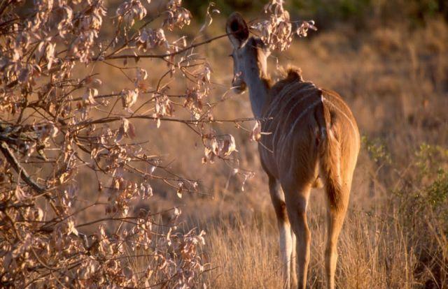Greater Kudu (Tragelaphus strepsiceros) Picture