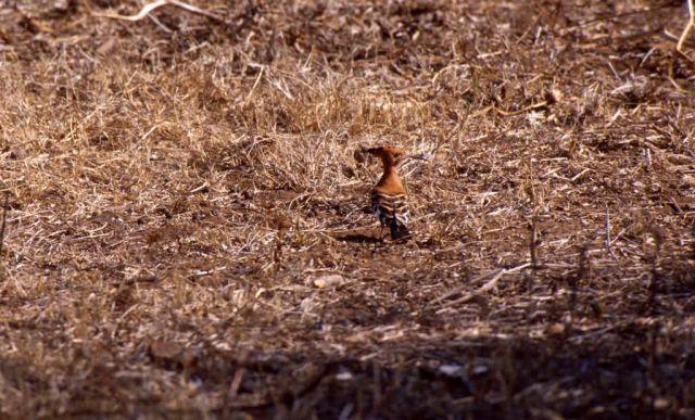 Hoopoe (Upupa epops africana) Picture