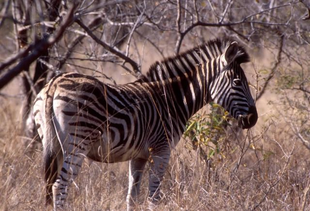 Burchell's Zebra (Equus burchelli) Picture