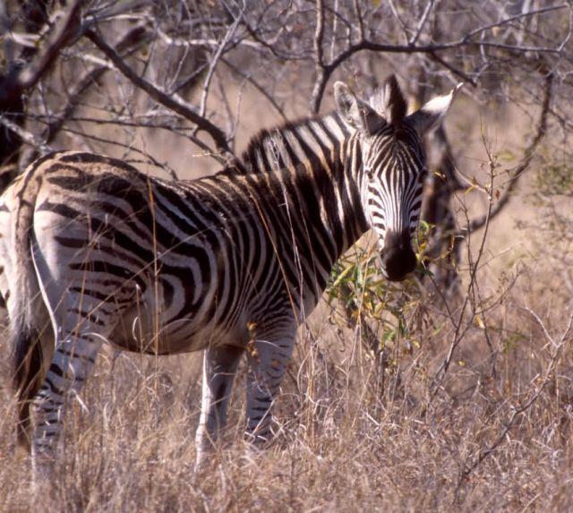 Burchell's Zebra (Equus burchellii) Picture