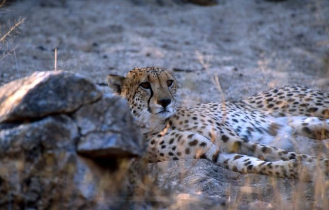 Cheetah (Acinonyx jubatus) Picture