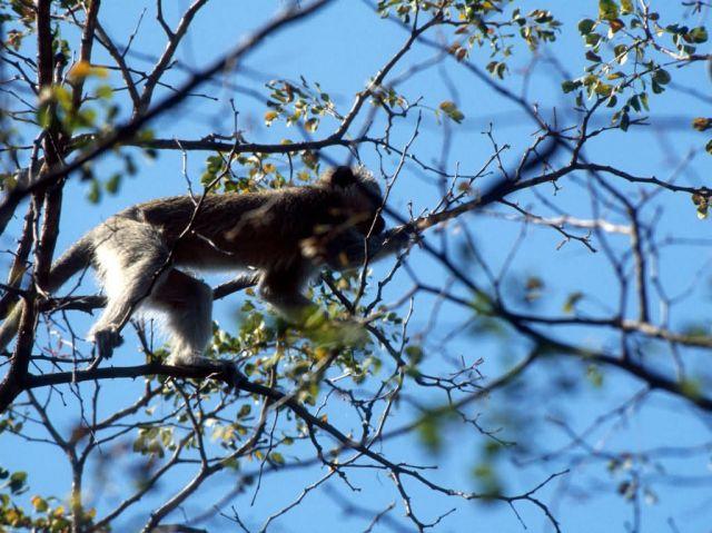 Vervet Monkey (Chlorocebus aethiops) Picture