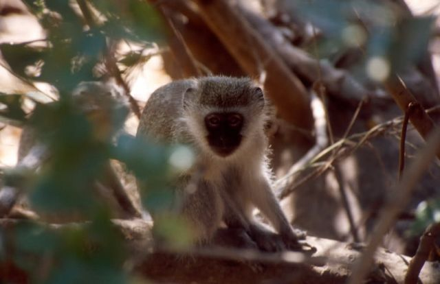 Vervet Monkey (Chlorocebus aethiops) Picture