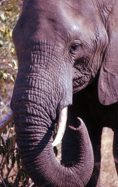 African Elephant (Loxodonta africana) Picture