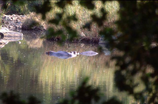 Hippopotamus (Hippopotamus amphibius) Picture