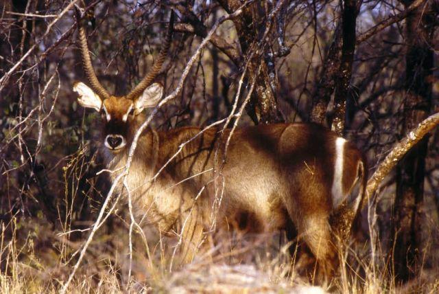 Waterbuck (Kobus ellipsiprymnus) Picture
