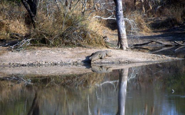 Nile crocodile (Crocodylus niloticus) Picture