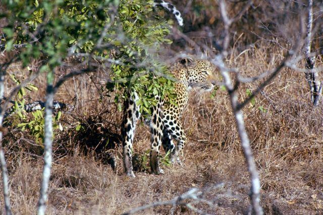 Leopard (Panthera pardus) Picture