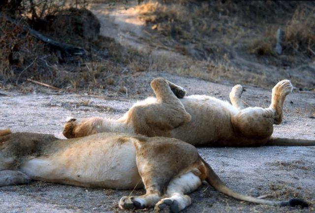 Lion (Panthera leo) Picture