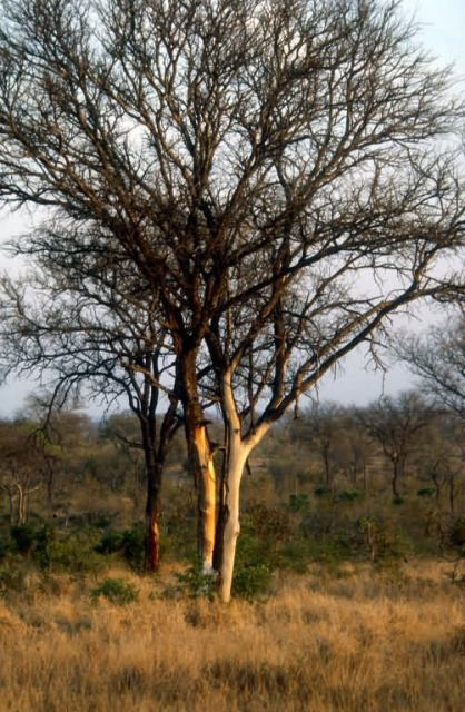 Trees Damaged by Elephants Picture