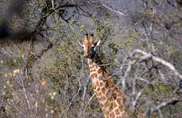 Giraffe (Giraffa camelopardalis) Picture
