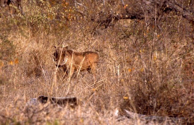Desert Warthog (Phacochoerus aethiopicus) Picture