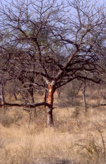 Tree Damaged by Elephants Picture