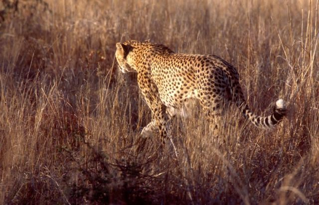 Cheetah (Acinonyx jubatus) Picture
