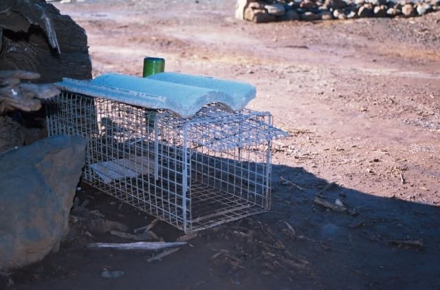 Mongoose Trap Picture