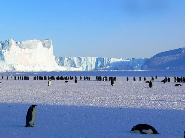 Antarctic Emperor Penguins Picture
