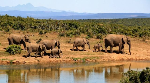 Elephant Herd Africa Water Hole Picture