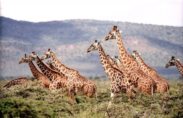 Giraffe Herd Picture