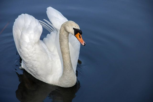 Swan In A Lake Picture