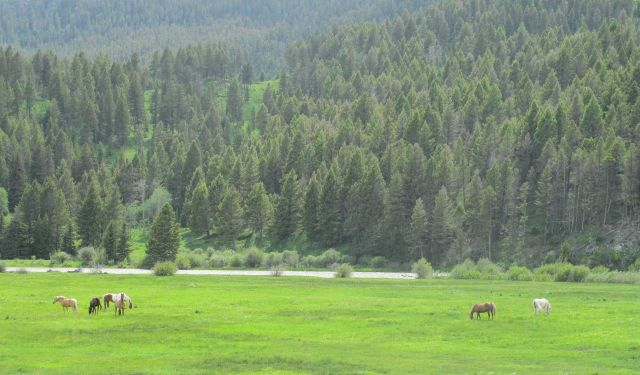 Horses grazing in beautiful pasture along the Madison River Valley. Picture