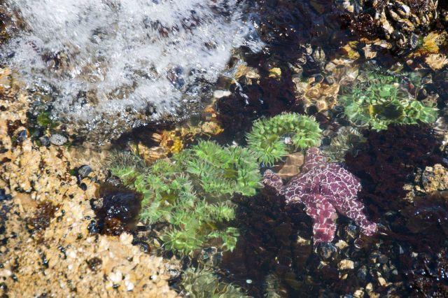 A beautiful tide pool at San Simeon Point with purple starfish and large green sea anemones. Picture