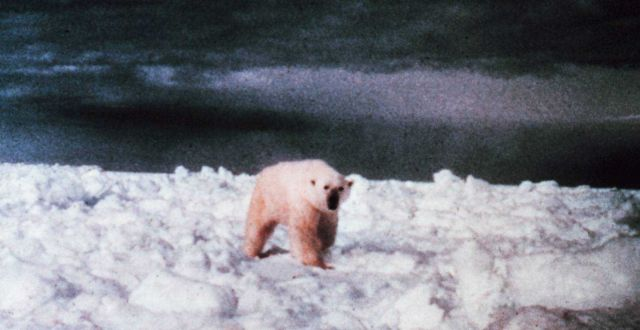 Polar bear - Ursus maritimus - on the ice in the Beaufort Sea. Picture