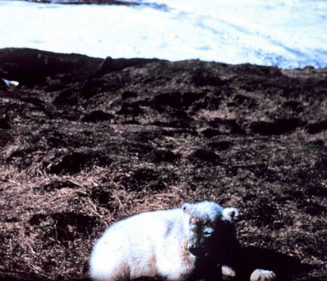 Polar bear - Ursus maritimus - on tundra. Picture