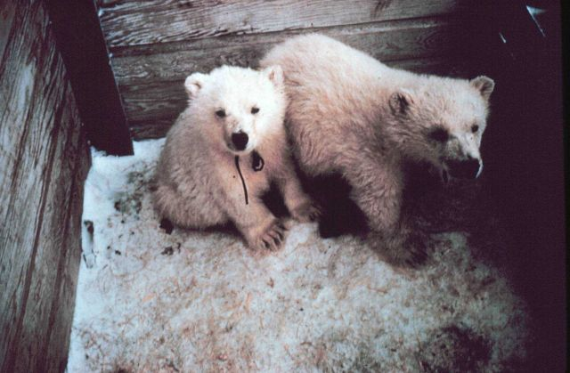 Orphaned polar bear cubs - Ursus maritimus - being sent to zoo. Picture