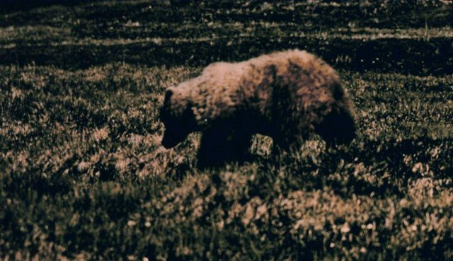 Brown bear (grizzly) - Ursus arctos - on the tundra. Picture