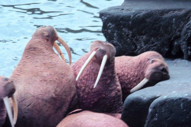 Walrus - Odobenus rosmarus divergens - on Bering Sea island. Picture
