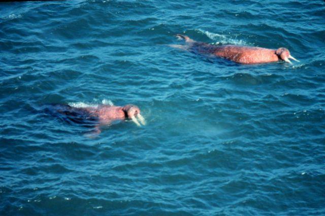 Walrus - Odobenus rosmarus divergens - swimming close to shore. Picture