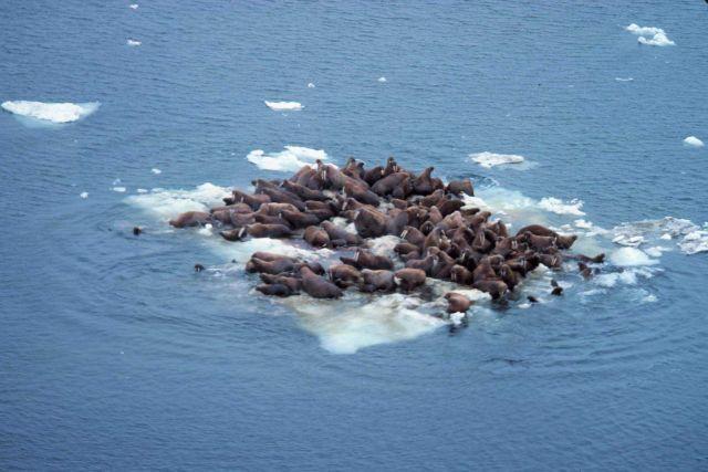 Walrus - Odobenus rosmarus divergens - hauled out on Bering Sea ice. Picture