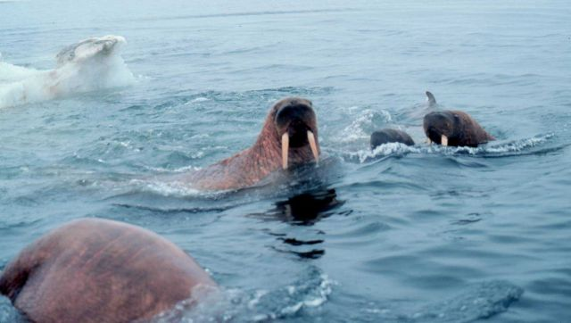 Walrus - Odobenus rosmarus divergens - swimming in the ice floes in the Bering Sea. Picture