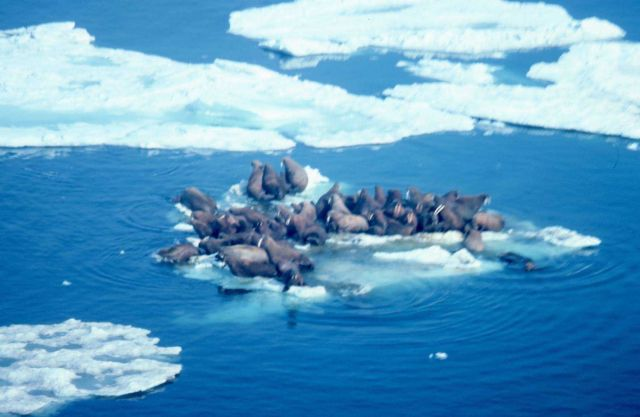 Walrus - Odobenus rosmarus divergens - hauled out on Bering Sea ice. Picture