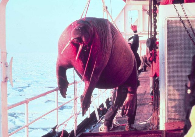 Dead walrus - Odobenus rosmarus divergens -found floating in sea being taken on board ship for studying. Picture