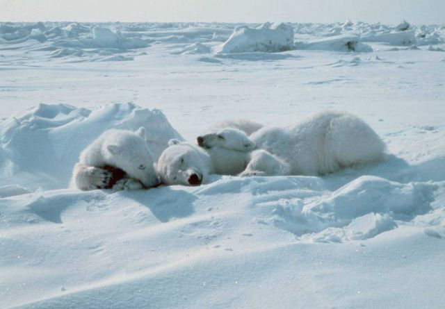 Cubs stay with sedated polar bear - Ursus maritimus - mother during Outer Continental Shelf Environmental Assessment Program studies. Picture
