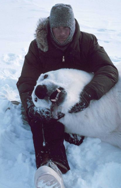 Steve Amstrup with large sedated polar bear - Ursus maritimus Picture