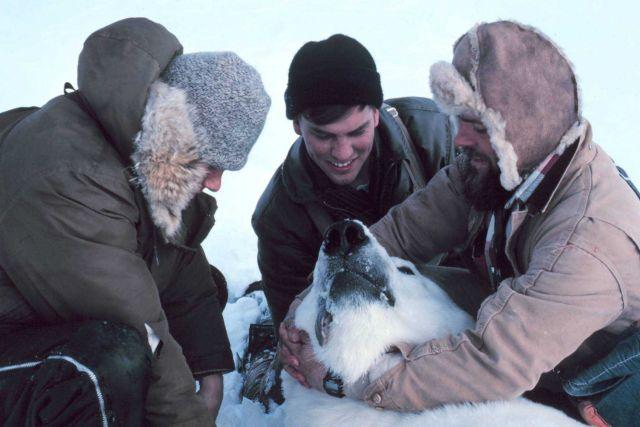 Preparing to pull tooth of large sedated polar bear - Ursus maritimus Picture