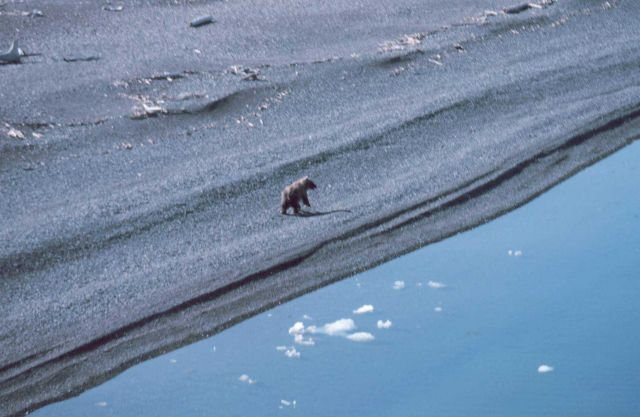 Brown bear - Ursus arctos - on the shore of the Beaufort Sea Picture